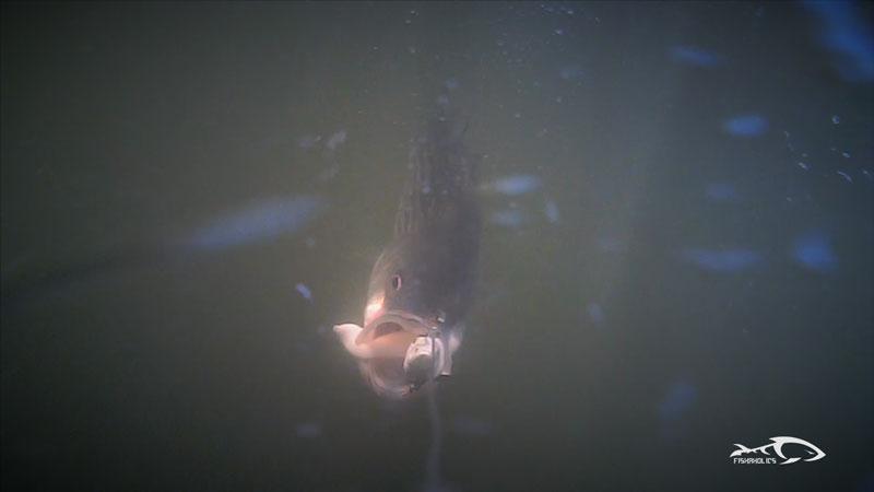 fishaholics-underwater-fishing-striped-bass