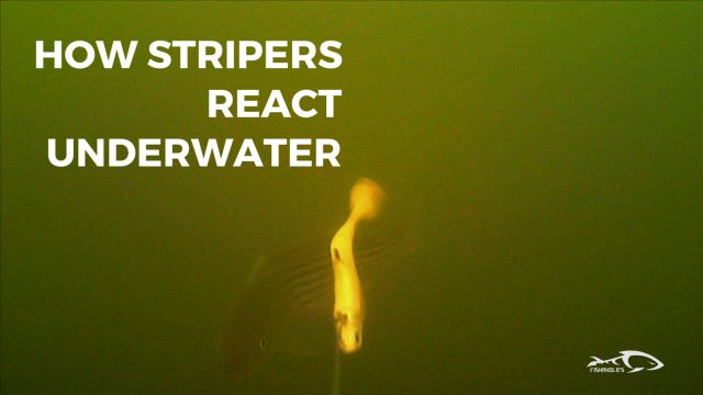 How Stripers React Under Water