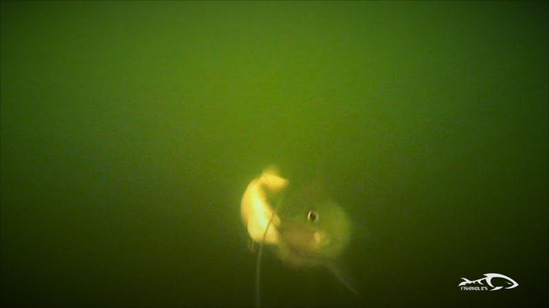 water-wolf-underwater-striper