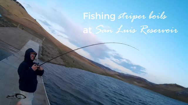 Striper Boils at San Luis Reservoir